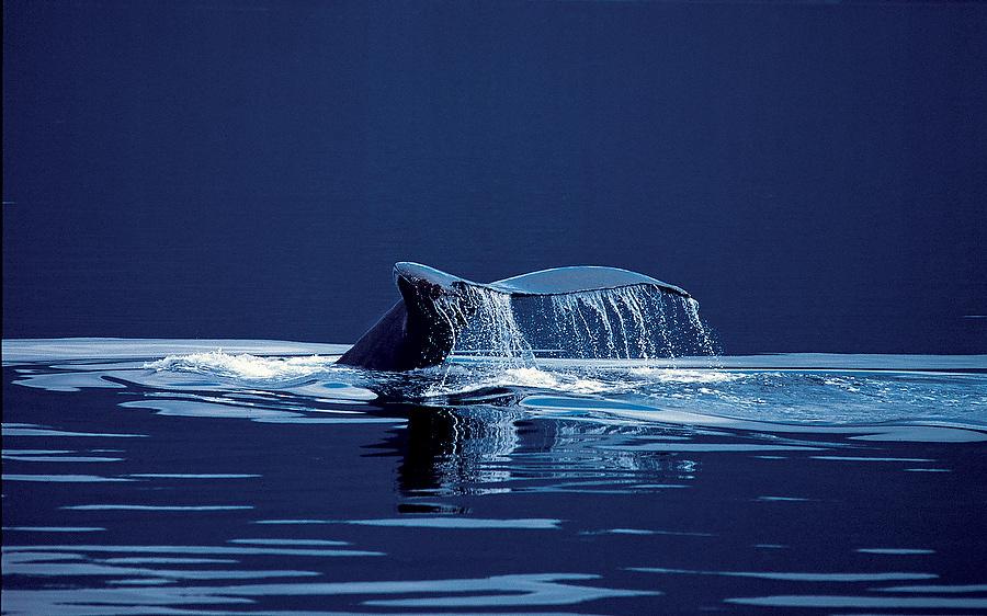 Humpback Tail.jpg