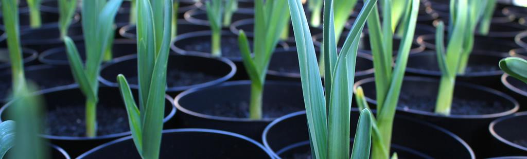 20+Can You Grow Garlic In Greenhouse