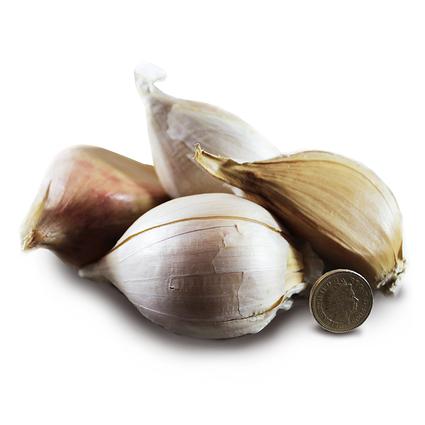 1013_elephant_seed_garlic_main.jpg