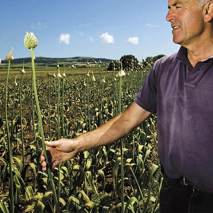 Garlic-scapes