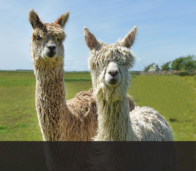 The Suri Alpaca West Wight Alpacas