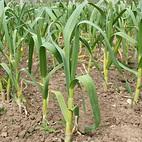 Extra early seed garlic