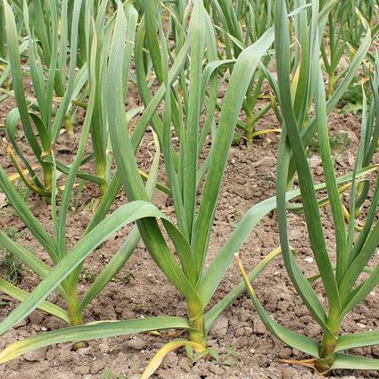 Mikulov garlic plant