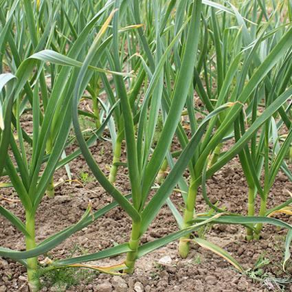 Red Duke garlic plant