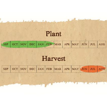 calendar garlic seed