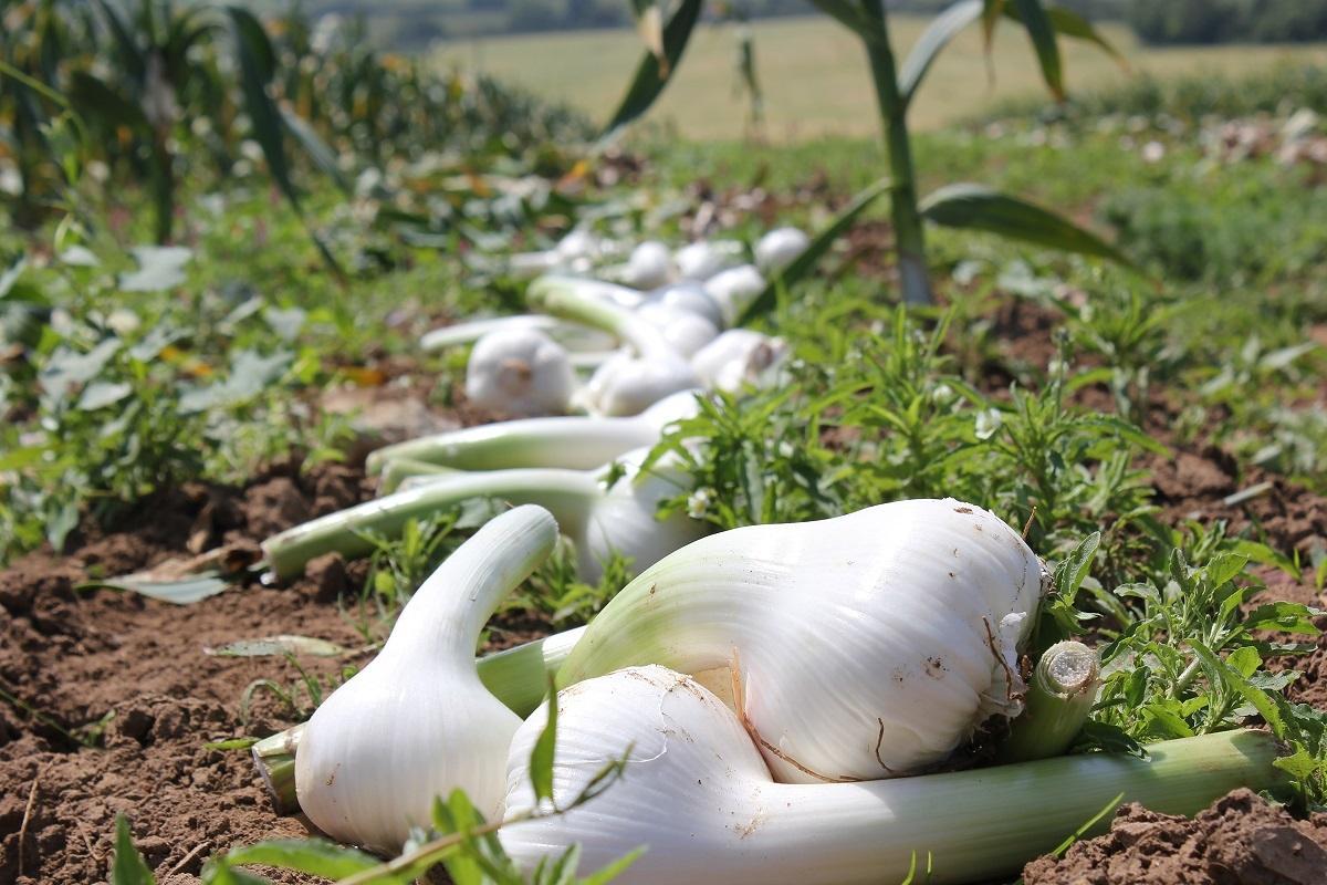 Elephant Garlic And Mushroom Pasta Recipes The