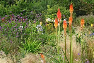 Kniphofia flamenco in August