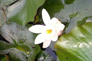 Lotus flowers in Barton Water Garden