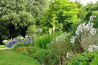 Summer borders busy with Agapanthus