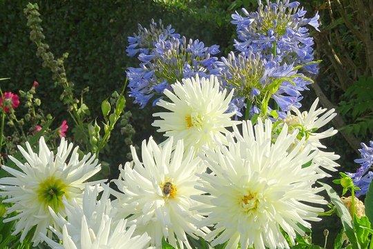 """White star dahlias (cactus dahlia) and agapanthus """"Blue Bird"""""""