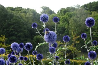 Bees enjoying the globe thistles (echinops ritro)