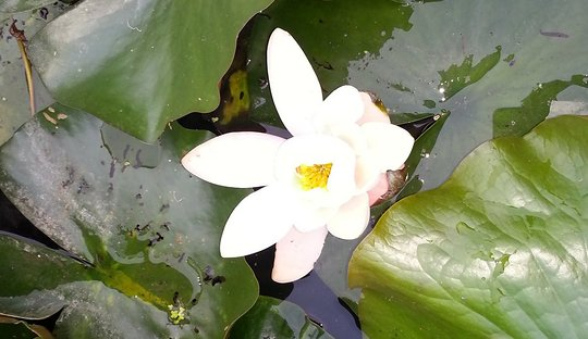 Lotus flowers in Barton Water Gardens