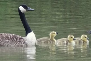 Canada goslings in late April