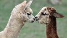 Dunreyth Alpacas