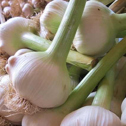 Green Jumbo Elelphant Garlic