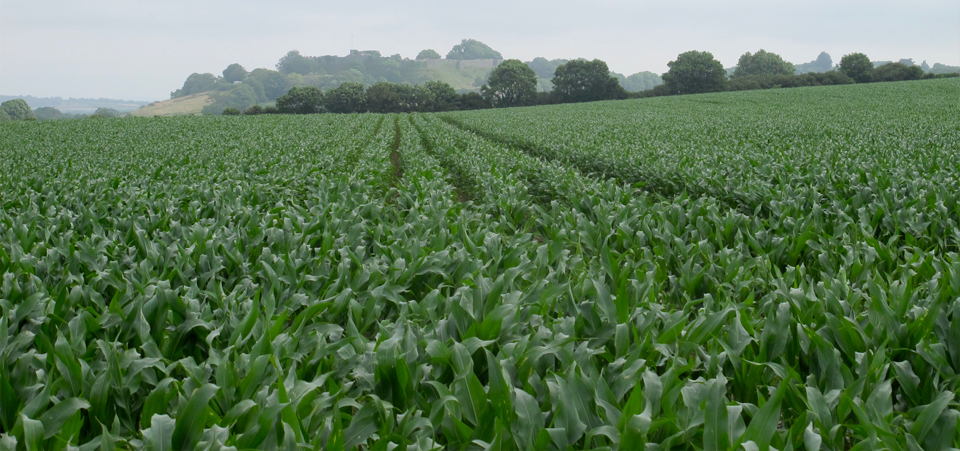 Carisbrooke Castle Maize Field