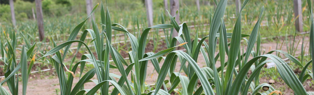 Garlic trial beds