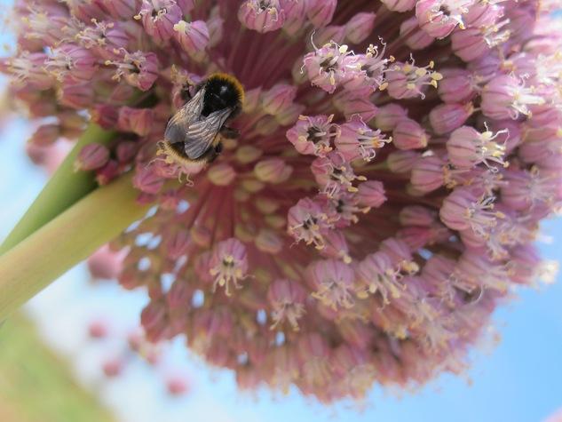 Elephant allium flower