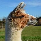 Llama1.jpg