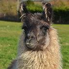 Llama11.jpg