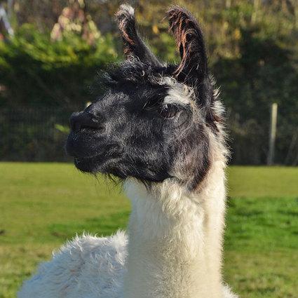 Llama12.jpg