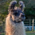 Llama24.jpg