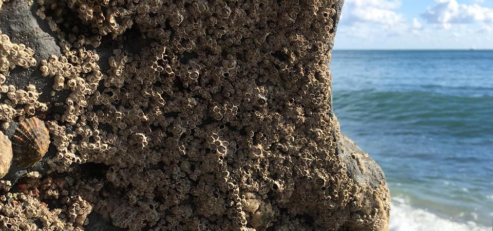 barnacles.jpg