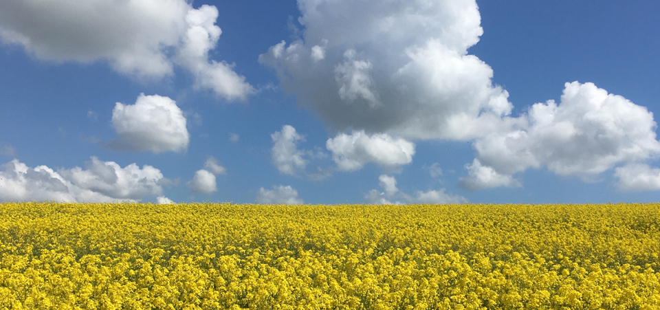 yellow_fields.jpg