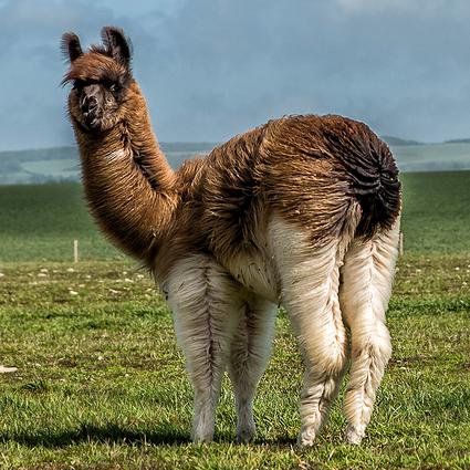 Llama2.jpg