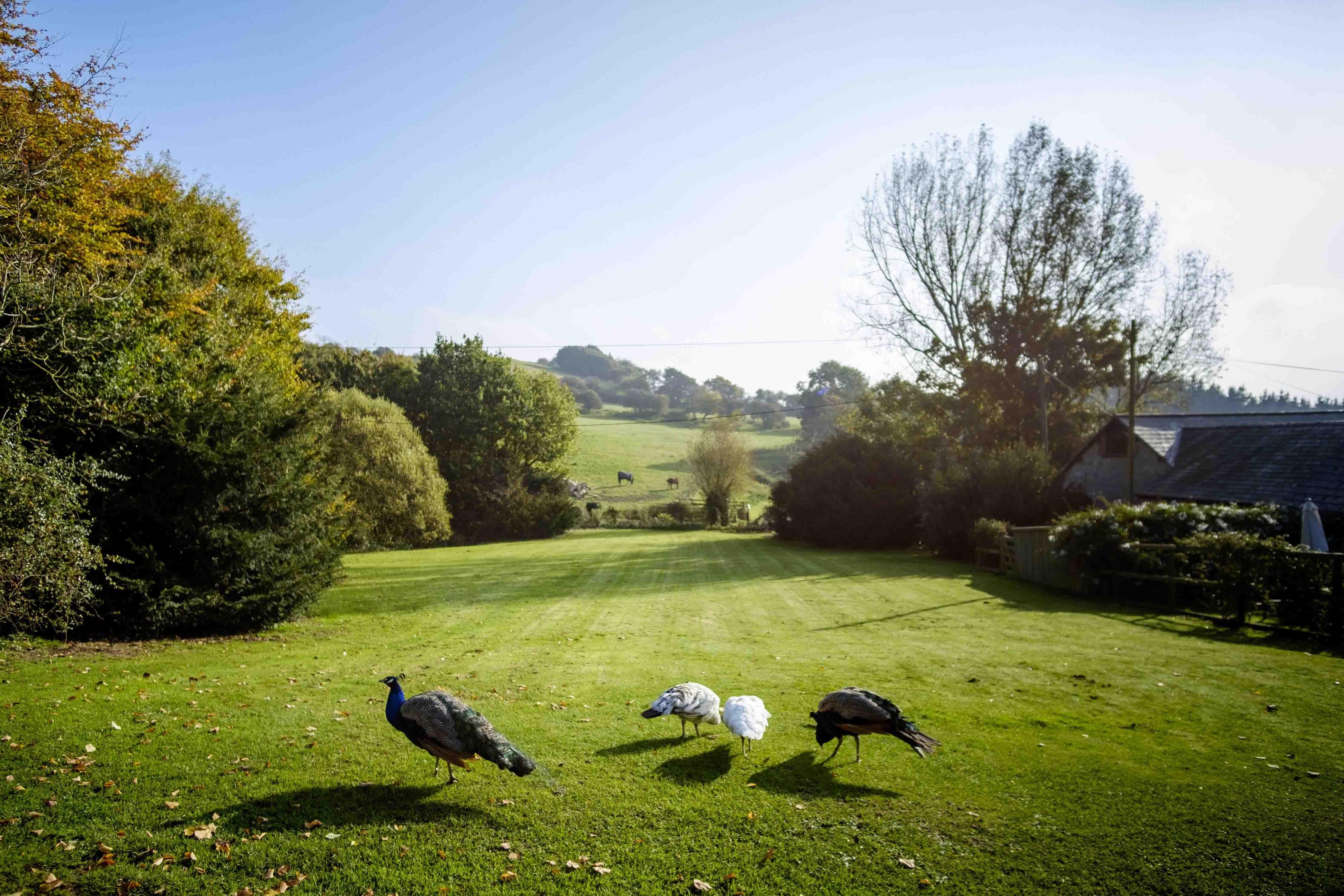 Peacocks on the lawn copy.jpg