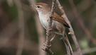 cettis-warbler.jpg