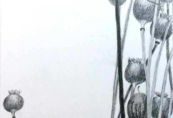 Poppy Heads Drawing.cropped.jpg