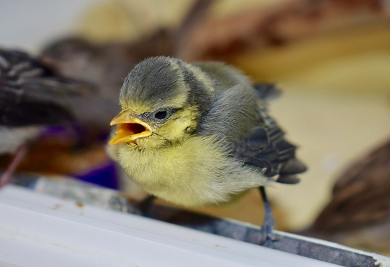Bluetit Fledgling.jpg