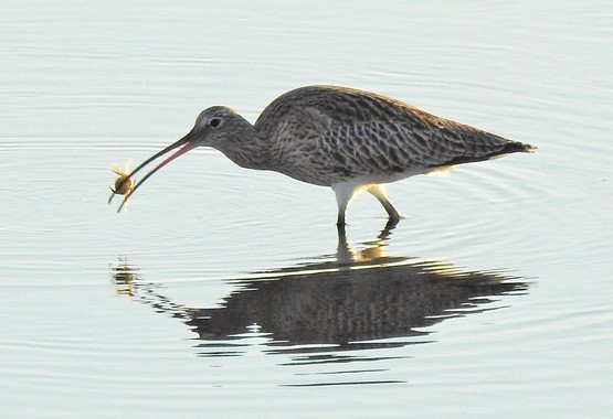 Curlew with crab photo Shirley Rushmer Oct 18.jpg