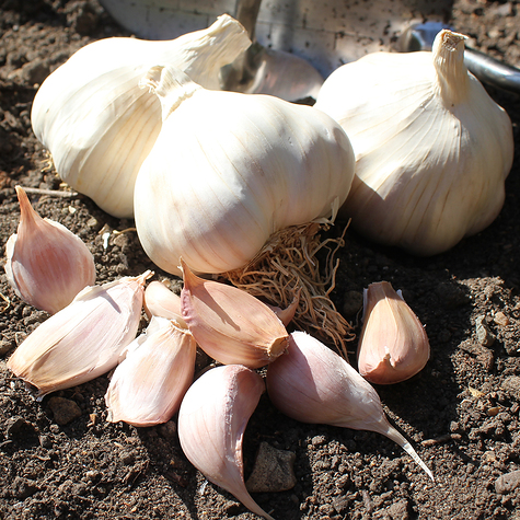 solent_wight_seed_garlic_the_garlic_farm.jpg