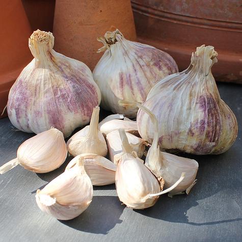 early_purple_wight_seed_garlic_the_garlic_farm.jpg