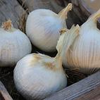 elephant_solo_garlic_seed_garlic_the_garlic_farm.jpg