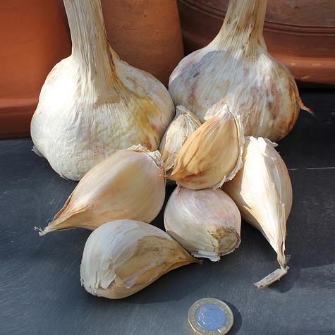 elephant_garlic_seed_garlic_the_garlic_farm.jpg