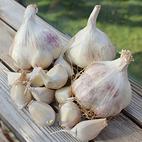iberian_wight_seed_garlic_the_garlic_farm.jpg