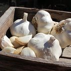 vallelado_wight_seed_garlic_the_garlic_farm.jpg