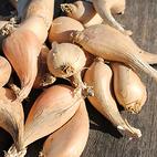 eschalote_grise_seed_garlic_the_garlic_farm.jpg
