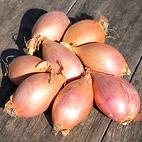 longor_shallot_seed_garlic_the_garlic_farm.jpg