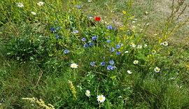 Wild flower meadow in bloom_Cobnor_9 May 2019_Tristan Brougham (7).jpg