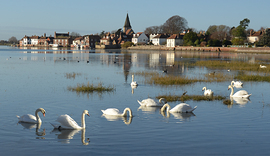 Swans with a view across to Bosham Church_Bosham_ 7 Oct 2020_Vivien Ruddock.jpg
